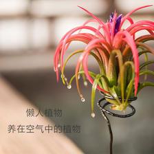 无土植物 空气凤梨盆栽 多款 ¥11